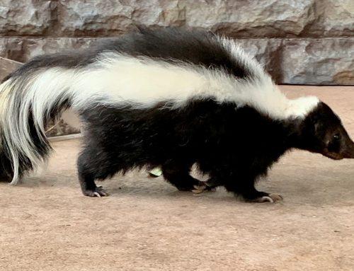 Skunks in Your Yard?