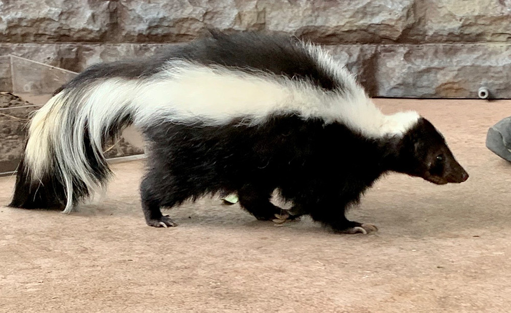 skunks in yard